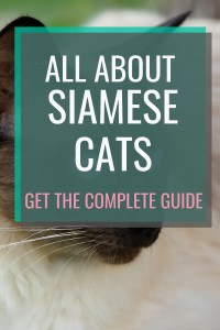 All About Siamese Cats #catbreeds #allaboutcats #siamesecats #siamese