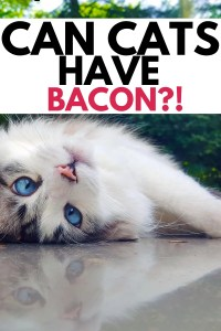 can cats eat bacon