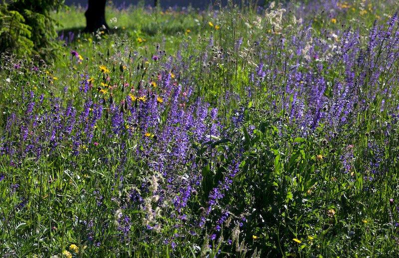 meadow sage in field of yellow flowers