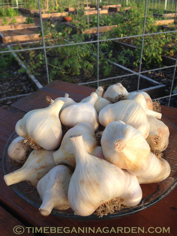 Growing Garlic Bought at the Grocery Store