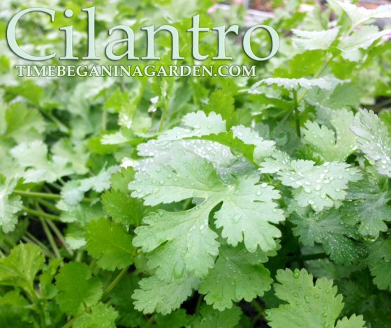 Health Benefits and how to Grow Cilantro
