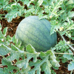 Growing Watermelon in Texas