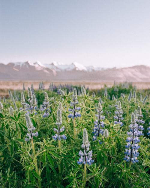 Lupine field with snow covered mountains in Iceland in the summer near Hofn. Get all the best photo spots in Iceland in this 6 day Iceland itinerary for an epic road trip around Ring Road.
