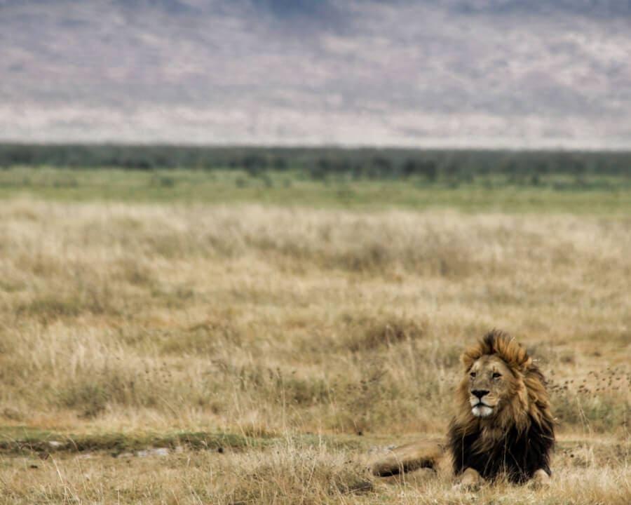 一个成年狮子在成年狮子的成年狮子中