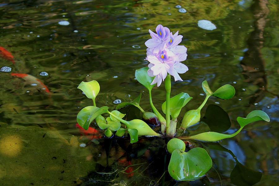 Water Violet Pond Plant