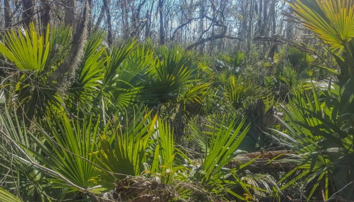 Louisiana palms