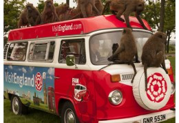 NEWS: England's Biggest Fan monkeys around at Knowsley Safari Park