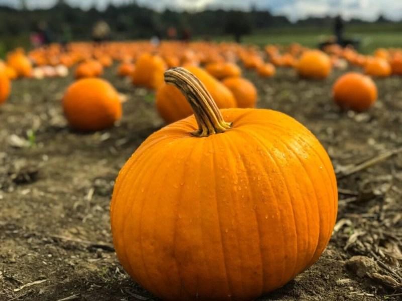 Liverpool Halloween Events Pumpkin Picking