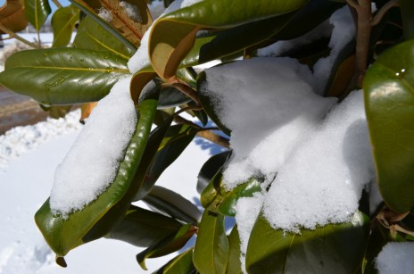Snow on magnolia leaves.