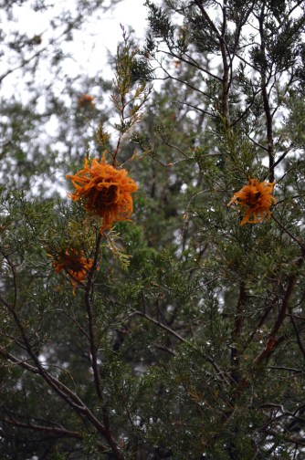 Apple Cedar Rust (5)