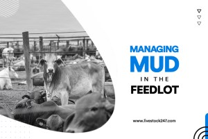 Managing Mud in The Feedlot