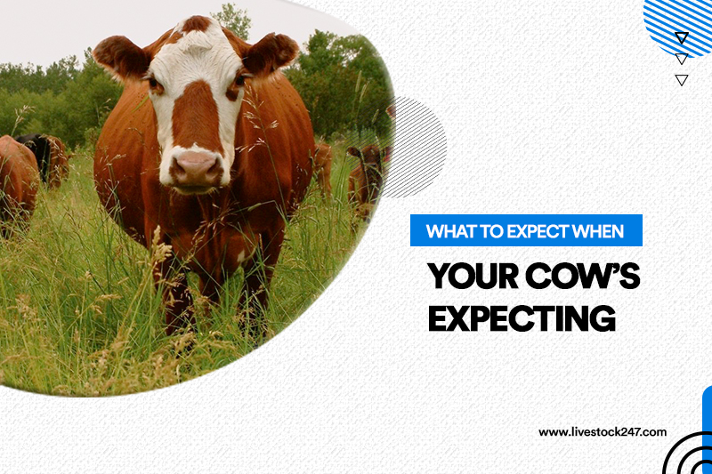 What to expect when your cow's expecting