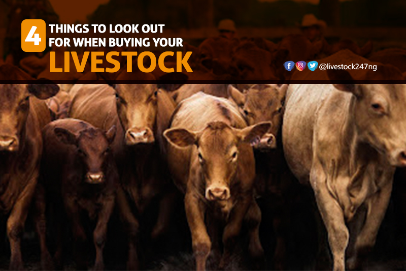 Four Things to Look For When Buying Your Livestock