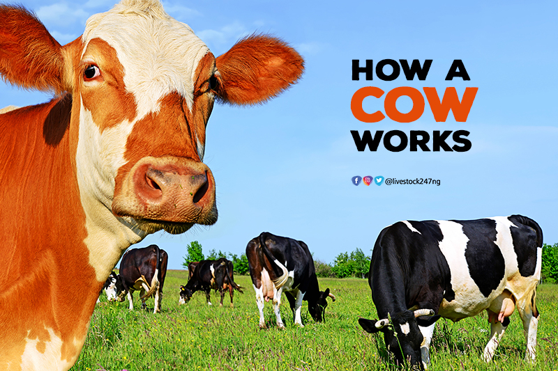How A Cow Works