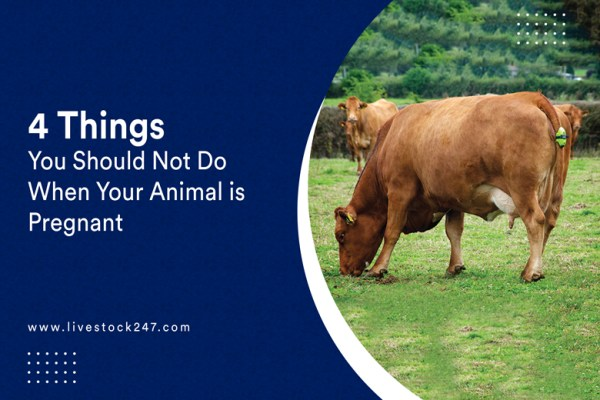 4 Things You Should Not Do When Your Farm Animal is Pregnant