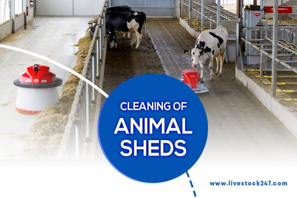 cleaning of animal shed