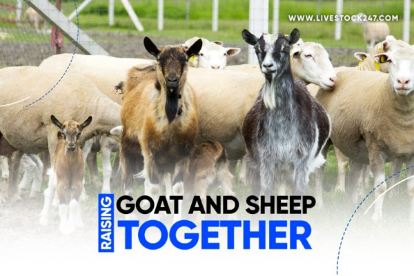 Raising goat and sheep together