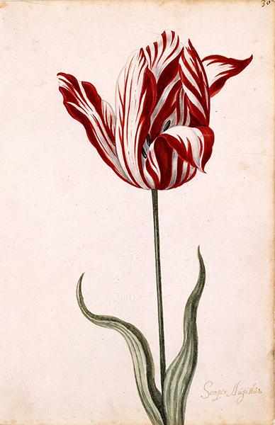 Illustration som visar en röd- och vitstrimmig tulpan mot vit bakgrund.