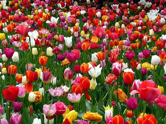 Fotografi som visar en mängd tulpaner i rött, vitt, gult, orange och lila.
