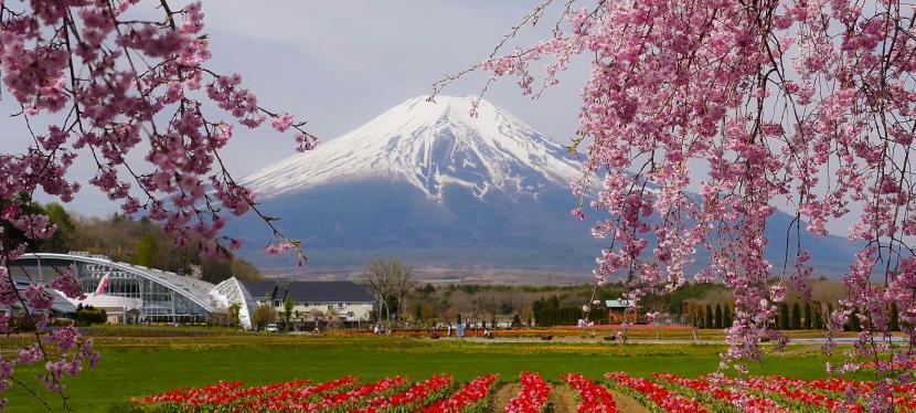 สวนฮะนะโนะมิยะโกะ ฟูจิซังในฤดูใบไม้ผลิ ท่ามกลางดอกทิวลิป | ดอกทานตะวัน