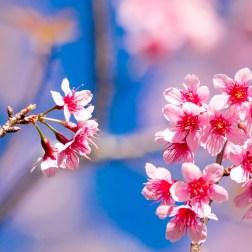 muangthai-cherry-2051856