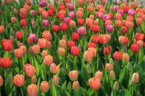 tulip-3355049_1280