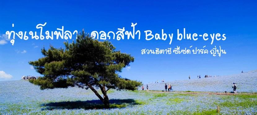 ทุ่งเนโมฟีลา ดอกสีฟ้า ในสวนฮิตาชิ ซีไซด์ ปาร์คใกล้โตเกียว! ญี่ปุ่น