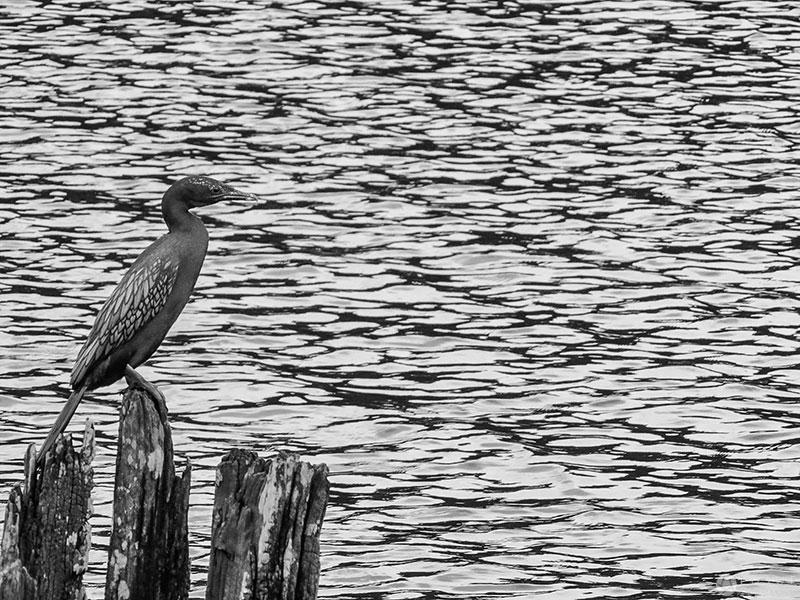 periyar-cormorants-1