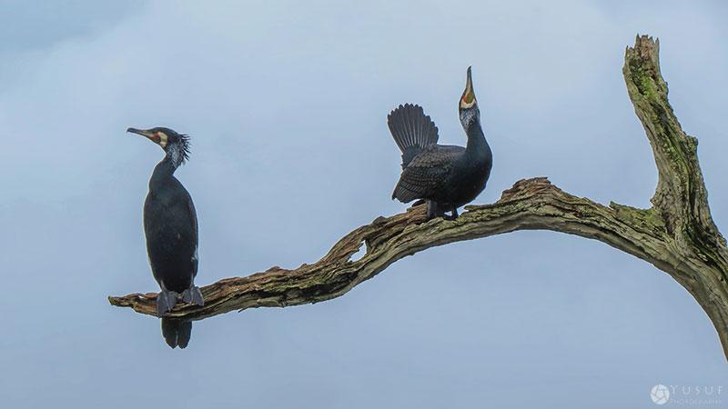 periyar-cormorants-2