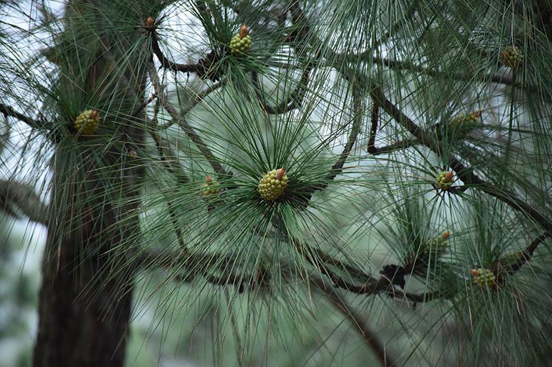 Pine cones @ Kanatal