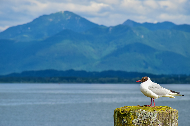 Gull @ lake Chiemsee