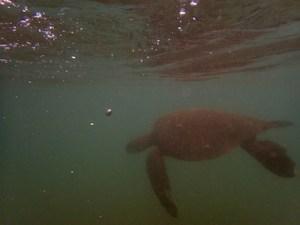 Green Sea Turtle at Turtle Bay, Oahu