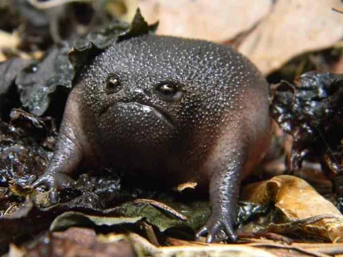 """""""Avocado furios"""" a fost porecla pe care a primit-o această broască care urăște oamenii"""