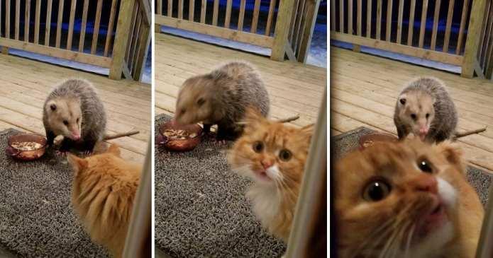 Reacția comică a unei pisici când un opossum îi fură mâncarea. Adorabil!