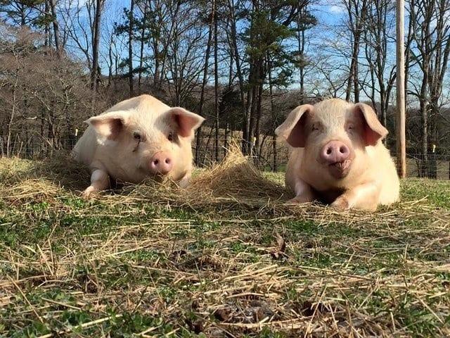 Legătura fantastică de fraternitate dintre doi porcușori care vă va emoționa.