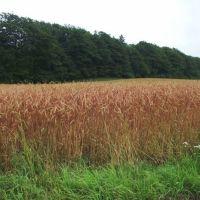 En-korn, Spelt, Emmer og hvede; hvad er hvad og hvad er lav FODMAP!? -og hvad med Gluten??