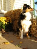 "Pet photography by Rockwell Art & Design | ""Beamer"" the Australian Shepherd 