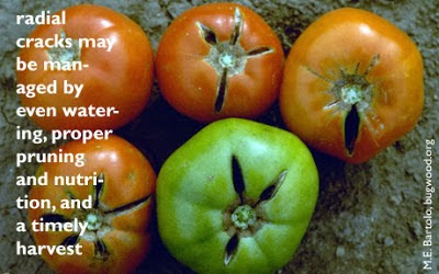 solutions for cracked tomatoes - livewellutah.org