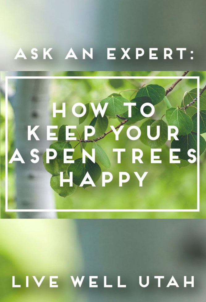 Aspen Trees Graphic - Copy