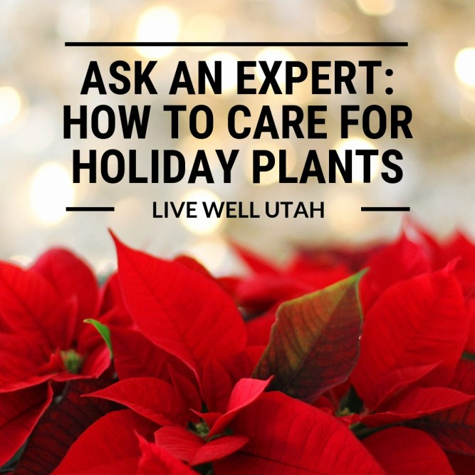 How to Care for Holiday Plants Poinsettias