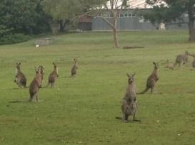 a few kangaroos to keep me company on the morning run