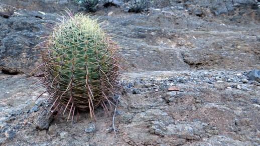 ferrocactus-acanthodes