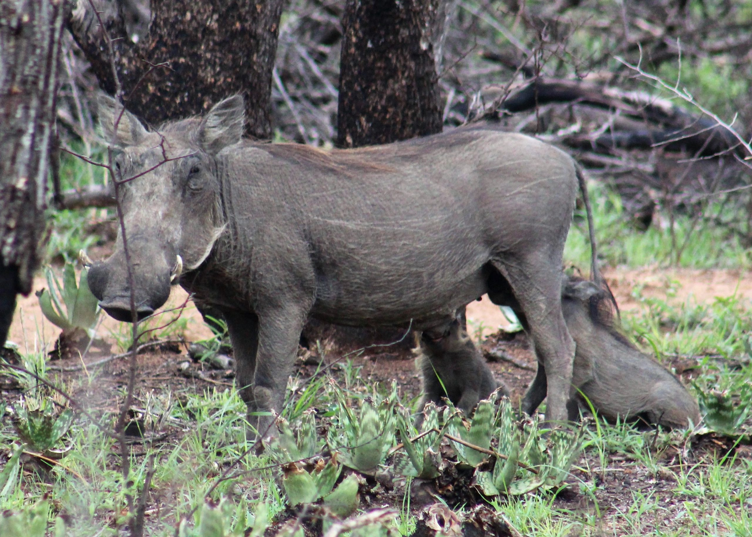 Warthogs on our game drive in South Africa