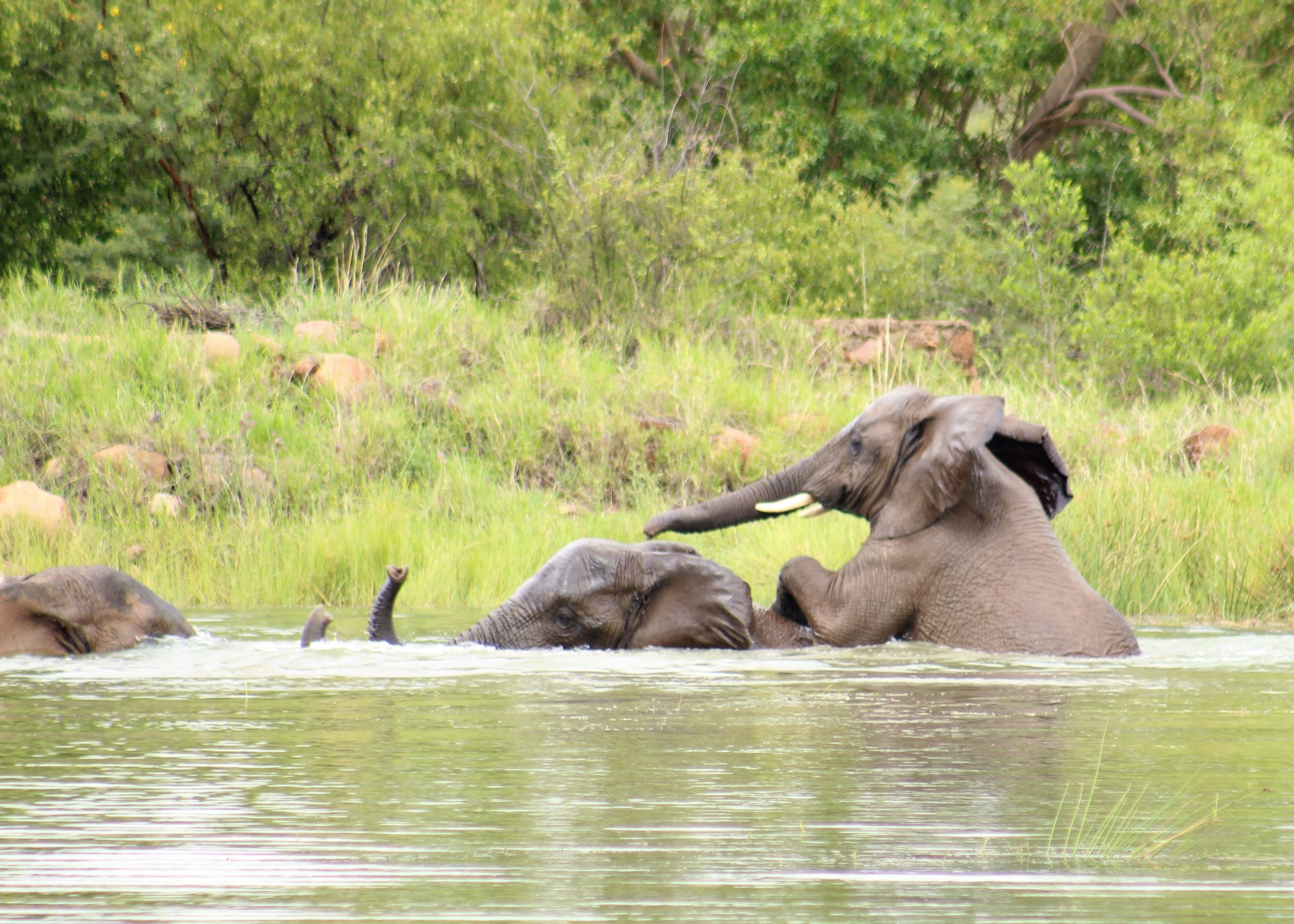 Elephants mating on our game drives in South Africa