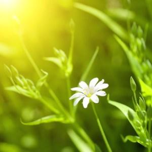 bigstock-white-chamomile-in-green-grass-15039764