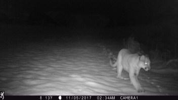 mountain lion Dubois WY