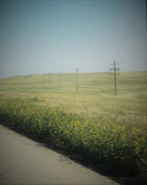 Sunflowers beside a highway