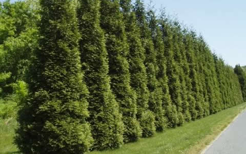 Image result for living fence tree evergreens
