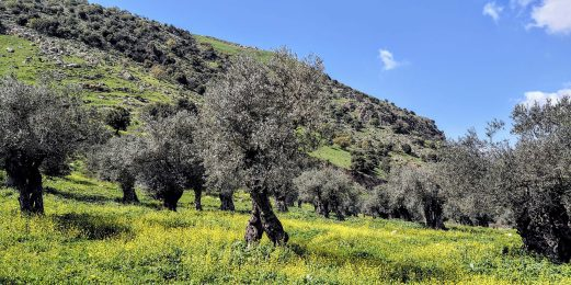 Old olive trees standing in a field of flowers