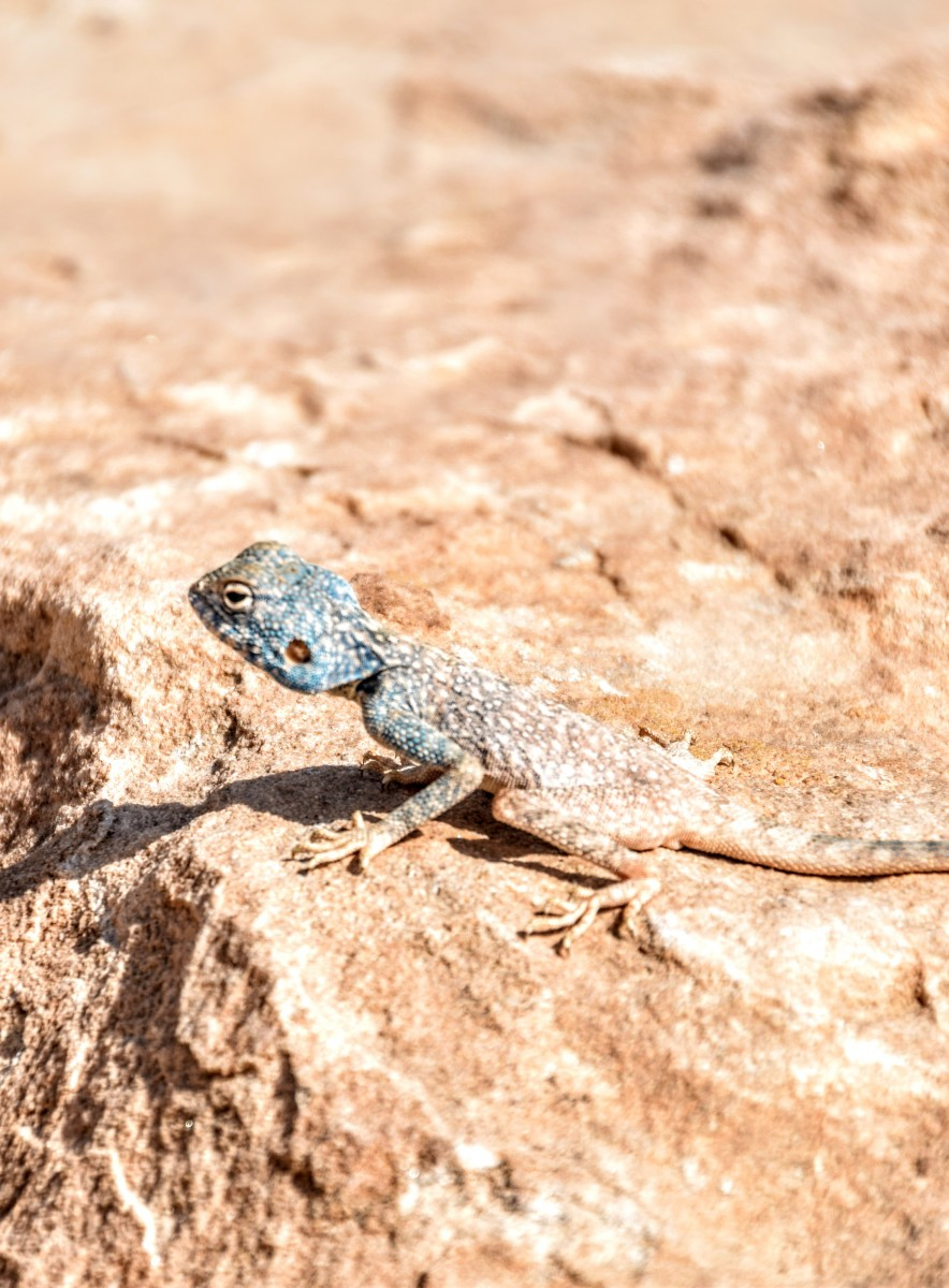 Blue Lizard on the Jordan Trail